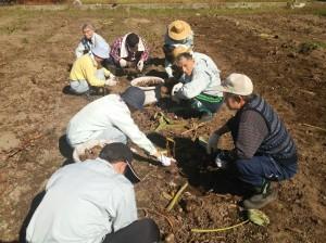 野外活動の一環・里芋掘り体験
