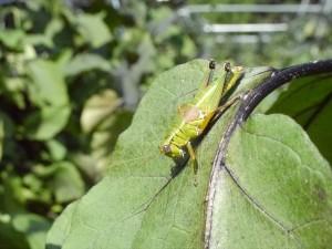 フキバッタをはじめ、昆虫にも住みよい畑