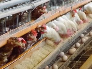 純国産の鶏「さくら(白色)」と「もみじ(茶色)」