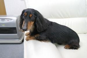 ミニチュアダックスフンドの看板犬・マックスくん(10歳)