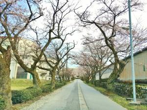 校舎へ続く桜並木