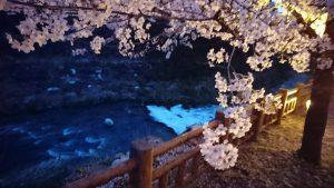 川と桜(写真提供:種井誠さん)