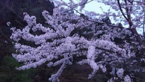 夜桜(写真提供:種井誠さん)