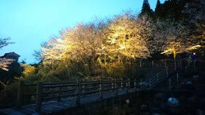 ライトに映し出された桜(写真提供:種井誠さん)