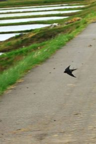 低く鋭く飛ぶツバメ(撮影:内山修さん)