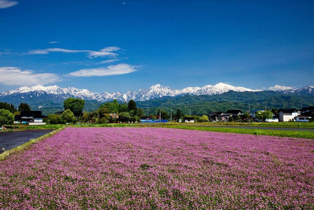 春の蓮華と剱岳(撮影:内山修さん)