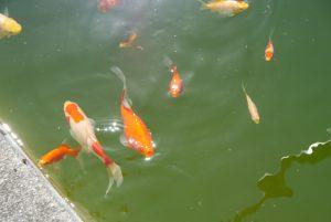 荻野工場長が来ただけで集まる鯉
